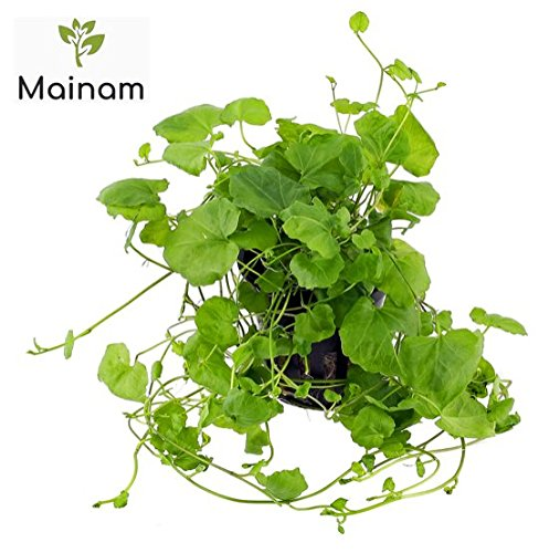 Mainam Cardamine Lyrata Potted Freshwater Beginner Live Aquarium Healthy Environment Decorations Aquatic Plants For Fish Tank Aquascape by by Mainam