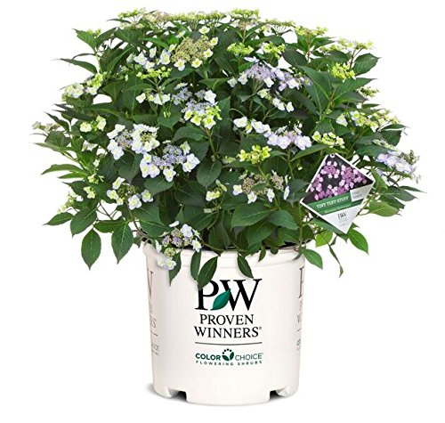 Proven Winners - Hydrangea serrata Tuff Stuff (Mountain Hydrangea) Shrub, pink/blue, #3 - Size ()