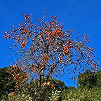 AchmadAnam - Live Plant - One Persimmon and One paw paw Tree! Fruit Trees, Trees. E18 : Garden & Outdoor