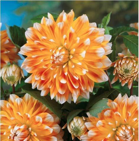 Peaches and Cream - Decorative Dahlia - 5 Gallon Size Bareroot Tuber