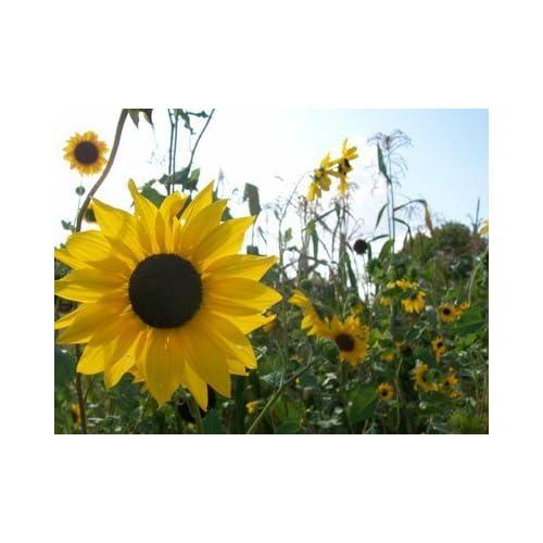 David's Garden Seeds Sunflower Beach D05315 (Yellow) 50 Organic Seeds for cheap