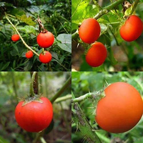 Qenci Fruit Seeds - Litchi Tomato Seeds Organic Fruit Vegetable Plants Fruits for Home Garden (Sweet Fruit That Resembles A Large Tomato)