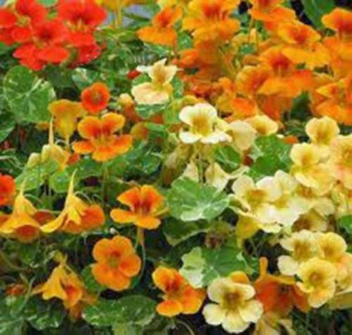 - NASTURTIUM, DWARF JEWEL MIX, 100+ SEEDS ORGANIC NEWLY HARVESTED-BEAUTIFUL FLOWER