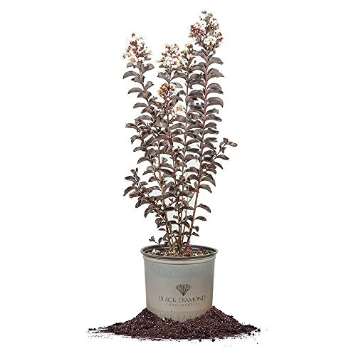 Black Diamond Pure White Crape Myrtle - Size: 3 Gallon, Live Plant, Includes Special Blend Fertilizer & Planting Guide