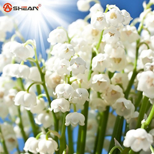 Valley Lily Of The (White Lily of the Valley Flower Convallaria Majalis Seeds Rich Aroma 100 Seeds)