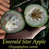 ~EMERALD STAR APPLE~ Chrysophyllum Cainito CAIMITO FRUIT TREE Small Potted PLAN
