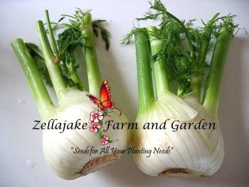 Florence Fennel 1/4LB seeds Vegetable Spice Heirloom Herb USA Bulk #198