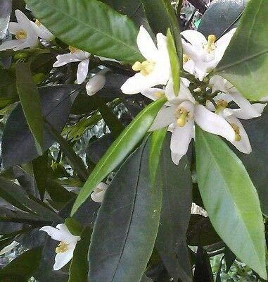 3 Satsuma Fruit Tree Real Live Plant Citrus 3