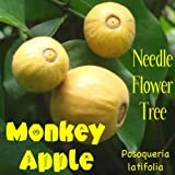 ~MONKEY APPLE~ Posoqueria latifolia Needle-Flower PERFUME TREE LIVE Potd Plant