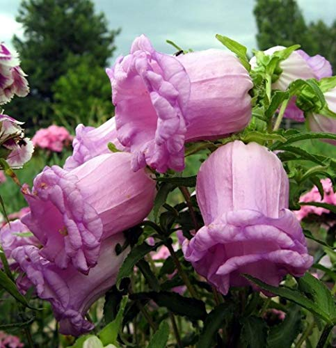 Seeds Canterbury Bells Mix Flower Perennial Balcony Outdoor Cut Organic Ukraine for Planting (Canterbury Bells Plants)