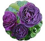 Ebb Tide Rose Bush 4 Inch Container Grown Organic USA Fragrant Purple Rose