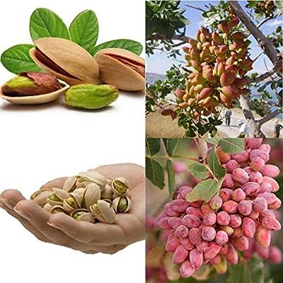 airrais 10Pcs/Pack Pistachios Seeds Garden Outdoor Nut Tree Fruit Tree Seeds Planting Trees : Garden & Outdoor