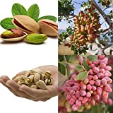 airrais 10Pcs/Pack Pistachios Seeds Garden Outdoor Nut Tree Fruit Tree Seeds Planting Trees