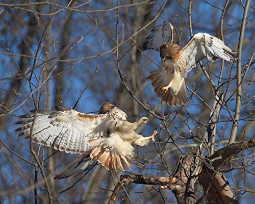 Red-tailed Hawks Photograph -