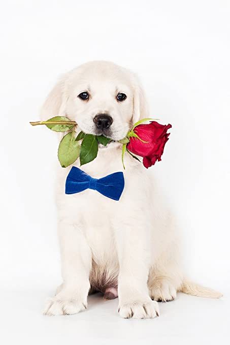 Amazoncom Golden Retriever Puppy Rose Art Print Poster Or