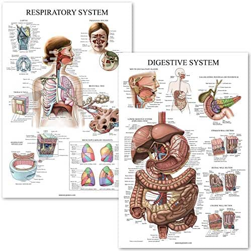Digestive System & Respiratory System Anatomy Posters - Laminated 2 Chart Set - 18