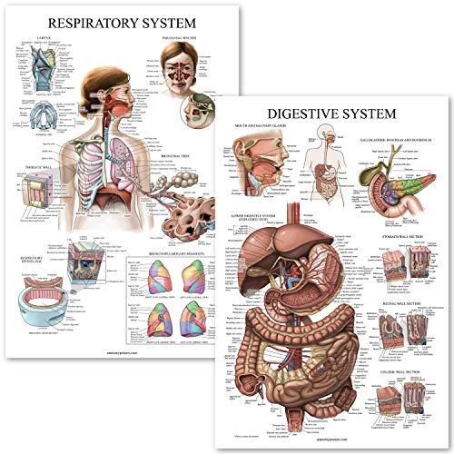 - Digestive System & Respiratory System Anatomy Posters - Laminated 2 Chart Set - 18