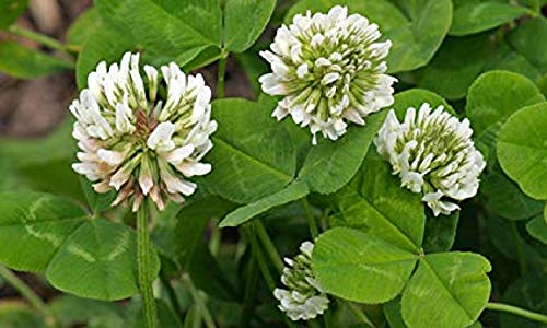White Clover Seeds, Nitro-Coated and Inoculated, 1 Pound by SEEDS2GO (Image #1)