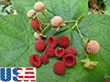 USA SELLER Thimbleberry 15-90 seeds HEIRLOOM NON-GMO