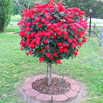 50pcs Seltene Blumen Rosen Baum Sät DIY Hausgarten Topf Balkon U0026 Garten Blumen  Pflanzen