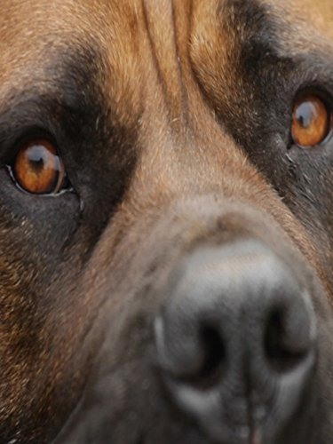 Clip: THE MAJESTIC BOERBOEL BRED TO BATTLE WITS WITH LIONS
