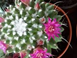 Live Cactus Mammillaria polythele nudum (spineless Form) Live Rooted Succulent Plant.