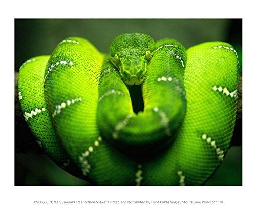 Green Emerald Tree Python Snake Art Print, 18 x 14 inches