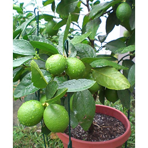 super1798 10Pcs Lime Seeds Tropical Citrus Fruit Tree Farm Balcony Garden Yard Plant