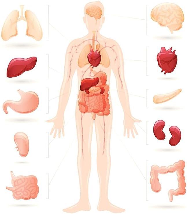 Amazon Com Human Body And Organs Anatomy Diagram Cool Wall Decor Art Print Poster 24x36 Posters Prints