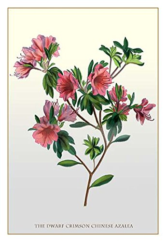 "Buyenlarge The Dwarf Crimson Chinese Azalea - Gallery Wrapped 28""X42"" Canvas Print, 28"" X 42"""
