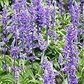 Outsidepride Sage - Blue Wildflower