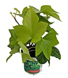 "Neon Spanish Canary Ivy - Hedera canariensis - 4"" Pot - Easy to Grow, Indoors"