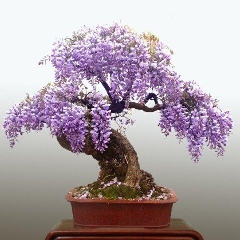 10 partículas Mini Bonsai Wisteria semillas de árboles ornamentales de interior Semillas de plantas de flor SVI