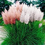 Mix Pampas Grass Seed - (Cortaderia Selloana) Tall, Tough and Beautiful - Fast Growing - Ornamental & Decor Perennial