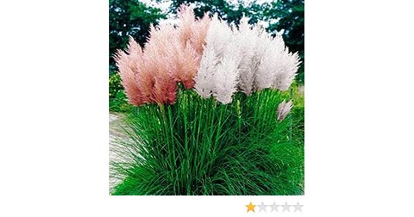 1000 X Pampas Grass Seeds Ornamental Plant Flowers Cortaderia Selloana Grass Lit