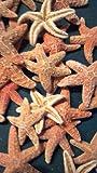 10 Pcs Sugar Starfish Star Sea Shell Wedding Craft 1 1/2
