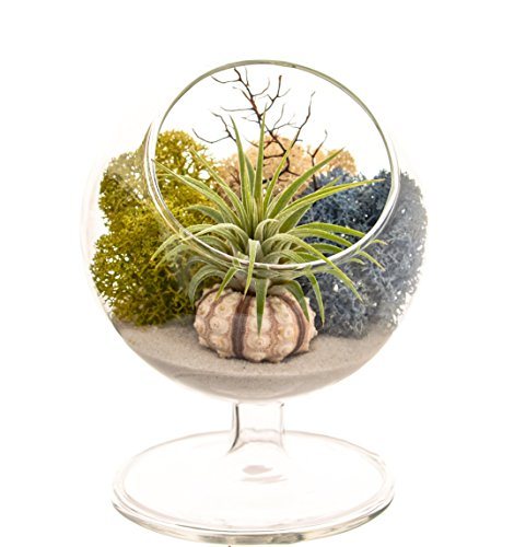 (Bliss Gardens Air Plant Terrarium Kit - 4