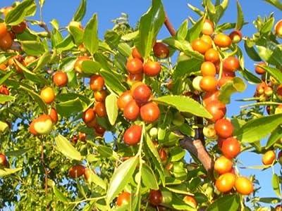 Ziziphus Mauritiana (Indian Jujube),10 Seeds,Ber,Chinese Apple,Indian plum,Masau