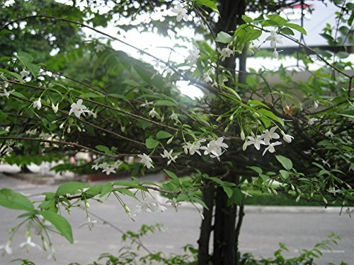 10 Seeds Wrightia religiosa Water Jasmine Plant
