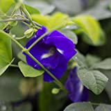 Pea, Blue butterfly, Blue Butterfly Pea, Clitoria ternatea, 20 Seeds Per Pack, Organic, Heirloom, GMO Free