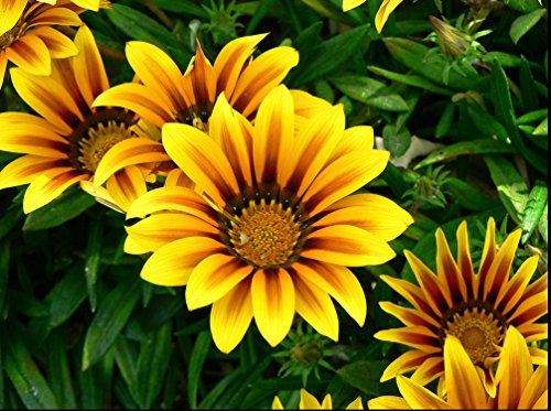 - Gazania Splendens Frosty Kiss Mix F1 Flower Seeds from Ukraine