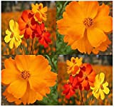 Cosmos Sulphur Mix Flower Seed - Cosmos sulphureus Seeds ~ Perfect for Cut Flowers - DOES WELL IN HOT ARID CLIMATES (00350 Seeds - 350 Seeds - Pkt. Size)