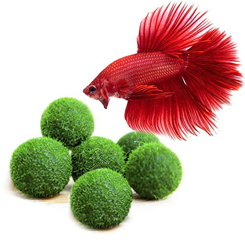 6 Nano Betta Balls - Live Round-Shaped Marimo Plant - Natural Toys for Betta Fish - for Hiding, Rolling, Nibbling - Pet-Safe - Cleans Aquarium Water - Adds Aesthetic Value to Betta Bowls & Jars ()
