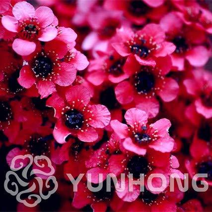 - Seed 100pcs Rare Leptospermum Flower Bonsai Garden Bonsai Plant Tree Flowers Gift for Kids Home De Flores Bonsai