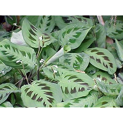 "Hirt's Green Prayer Plant - Maranta - Easy to Grow - 4"" Pot: Toys & Games"