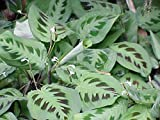 "Hirt's Green Prayer Plant - Maranta - Easy to Grow - 4"" Pot"