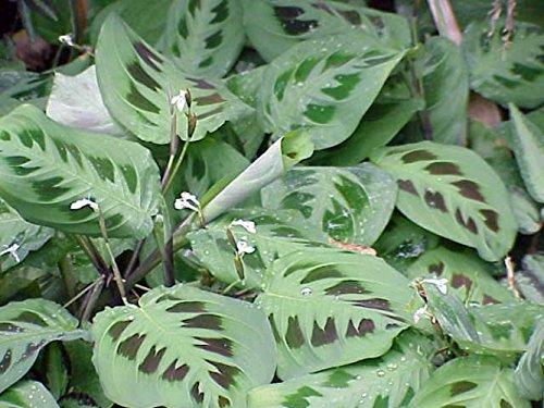 """Hirt's Green Prayer Plant - Maranta - Easy to grow - 4"""" Pot"""