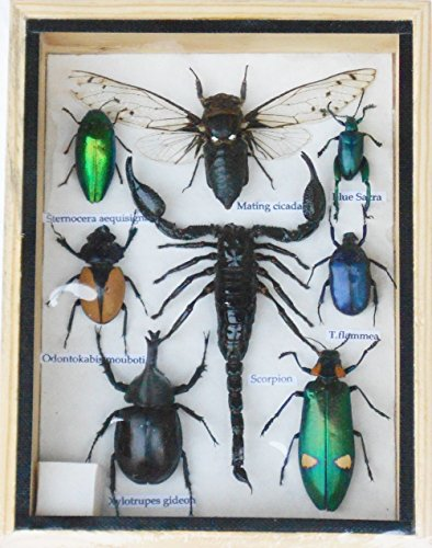 Real Mixed Beetle Cicada Scorpion Insect Boxed Fra