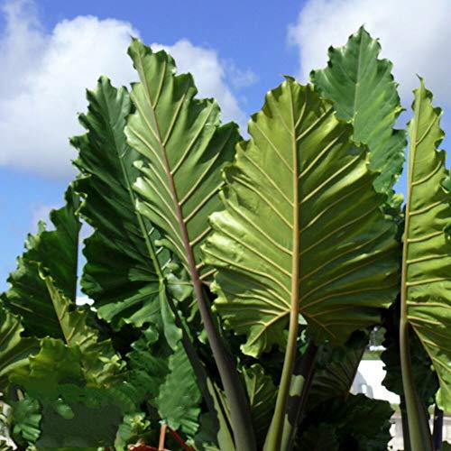 Elephant Ear Alocasia 'Portora' Live Plant Green Tropical Garden Unique Upright Tkspring