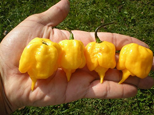(1000) YELLOW CAROLINA REAPER Hot Pepper Seeds by MW061
